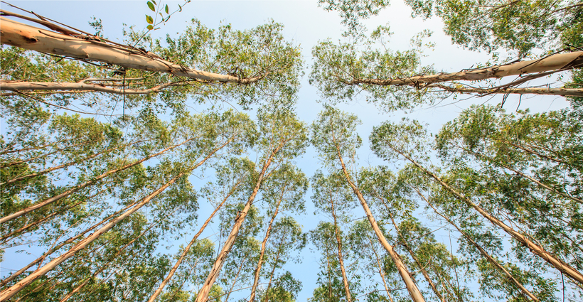Eucalyptus Blue